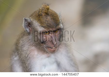 Long-tailed macaques (Macaca fascicularis) in Sacred Monkey Forest Ubud Indonesia