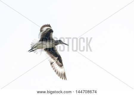 Willet almost monochromatic flying against featureless sky