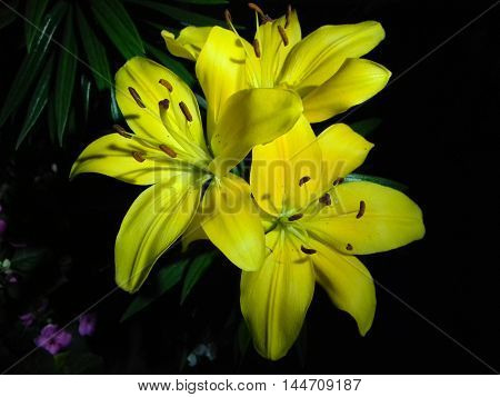 lilium flower under the light of the night