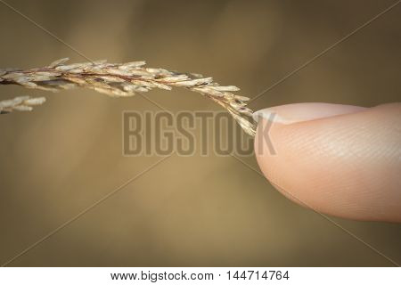 Finger touching wheat - macro close-up mankind and nature