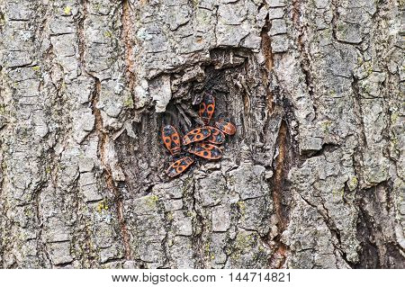 Some firebugs sitting in a hole of a bark