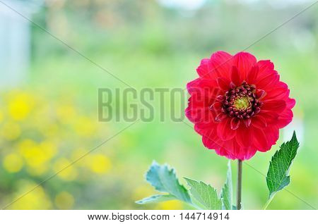 The dahlia (Dahlia) is a genus of flowering plants in the sunflower family (Asteraceae). Closeup of dahlia flower in the garden.