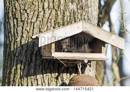 A Brown squirrel sitting in a bird table