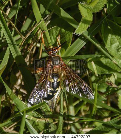 A Cicada Killer (Sphecius speciosus) or Cicada Hawk, crawling through the grass holding on to its prey.