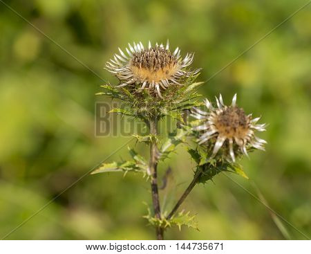 Carline Thistle (Carlina vulgaris) flowering in a Dune-Valley with two flowers
