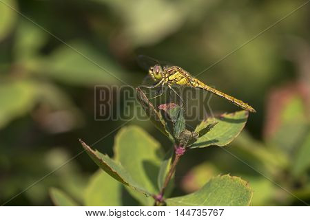 Vagrant Darter (Sympetrum vulgatum) fresh male resting on a Shrub