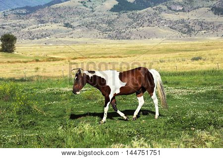 Mixed color horse walks across pasture at the foothills of the Gallatin Mountain Range in Paradise Valley Montana.