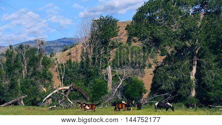 Five Apaloosa horses graze among the foothills of the Absaroka Mountain Range in Paradise Valley Montana.