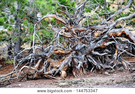 Big root system is revealed after storm left this large tree uprooted. Twisted and gnarled roots dry and decay in Yellowstone National Park.