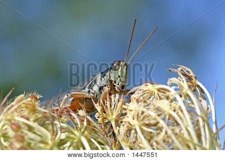 Grasshopper - Melanoplus Femurrubrum On Dried Carrot Flowers