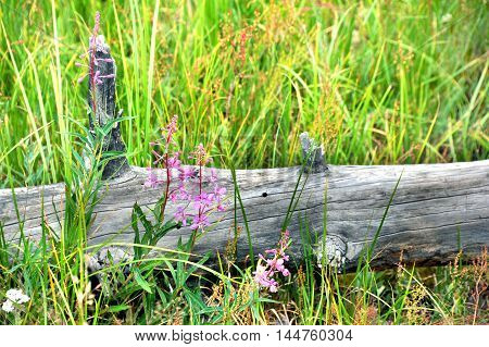 Weathered and rotting log lays in meadow in Yellowstone National Park. Pink flowers add new growth besides old and dying.