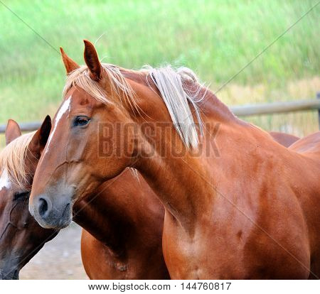 Two horses stand together in a corral in Happy Valley Montana. Chestnut colored images shows closeup of head and shoulders.