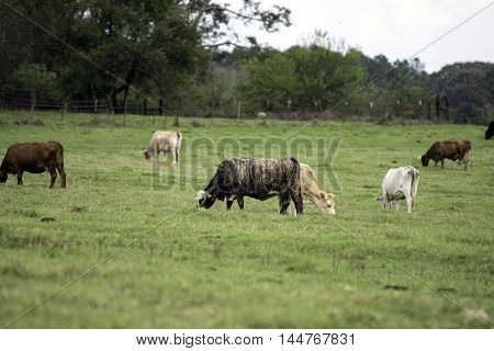 A group of crossbred commerical cows grazing on a bermudagrass pasture in Alabama