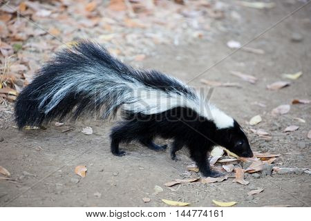 Striped Skunk - Mephitis mephitis. Rancho San Antonio County Park, California.