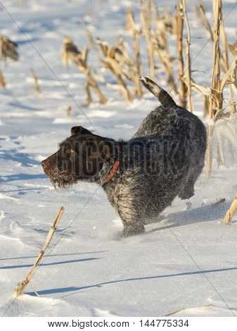 A German Wirehair Pointer out pheasant hunting in the snow
