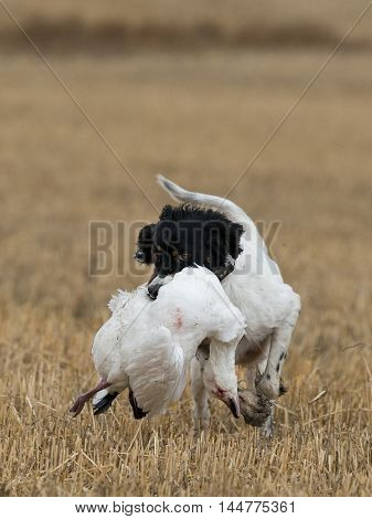 A hunting dog with a Snow goose