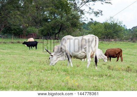 A group of crossbred cattle grazing on a bermuda grass pasture