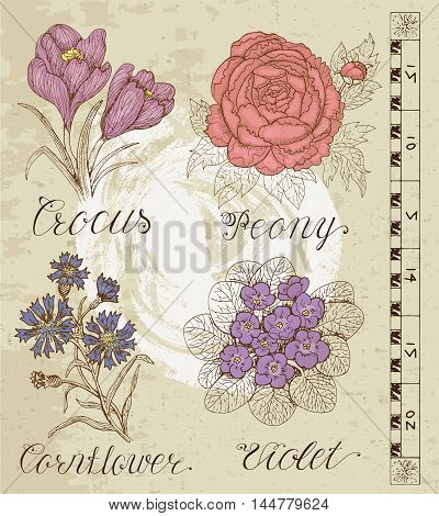 Old engraved illustration with crocus, peony, cornflower, violet on old paper texture. Set with line art vector flowers. Doodle drawing and sketch. Vintage graphic collection