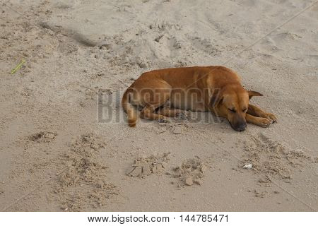 Dog Sleeping  on beach relaxing  the sand at the seaside in summer holiday