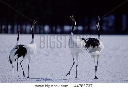 Red crowned Crane on the snowfield