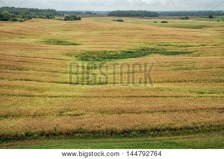 Field Before The Harvest Of Grain Yield In Summer