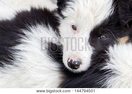 Border Collie Puppies Sleeping On A Farm