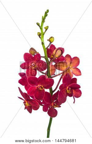 dark red orchid flowers isolated on white background