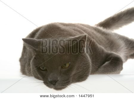 Catty The Cat