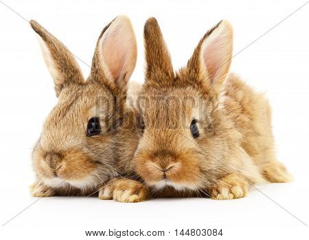 Two brown rabbits isolated on white background.