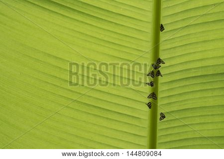 Small vermin Ready for Daily Life at Morning beneath Banana Leaf