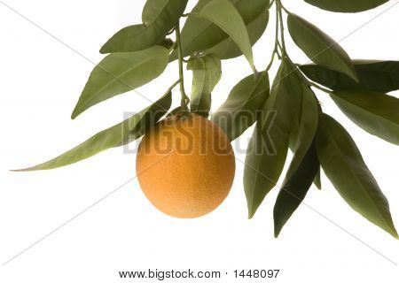 solo orange hanging from tree branch