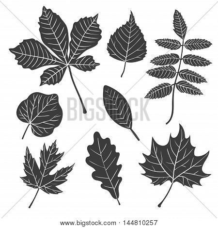 Vector leaves set. Collection of black leaf silhouettes - maple, oak, chestnut, poplar, rowan.