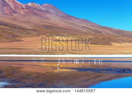 Flamingo in the lake of Bolivian Altiplano