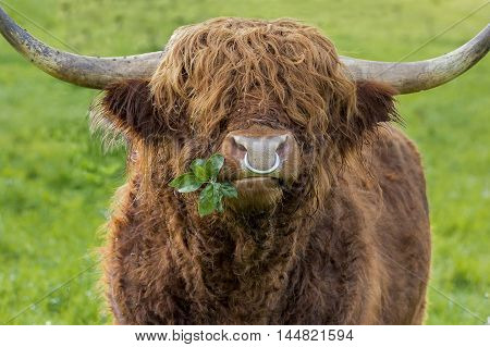Unfiltered version of leaves chewing highland cattle bull with iron nose ring on a green meadow. A branch with some leaves shows cool out of the corner of his mouth.