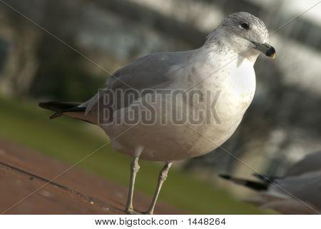 Seagull Close Up