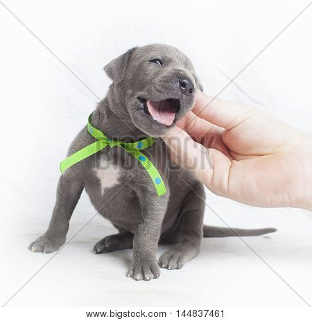 Hand itching behind the ear of a purebred Great Dane puppy