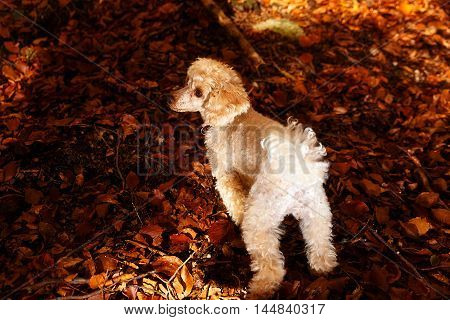 Whites poodle in autumn park beautiful autumn leaves