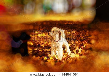 Black and whites poodle in autumn park beautiful autumn leaves. and blur effect at the edges