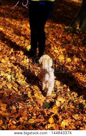 Whites poodle in autumn park and woman legs