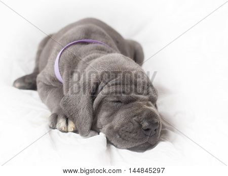 Blue Great Dane puppy taking a nap on a white background