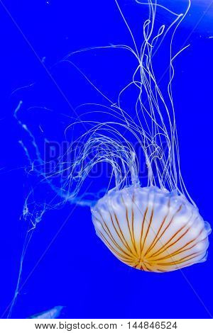Beautiful Jellyfish Floating In Aquarium Water