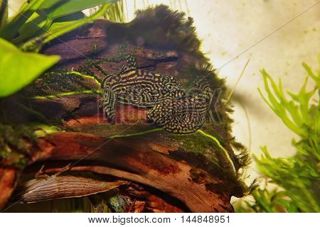pair of fishes Sewellia lineolata on snag in the aquarium