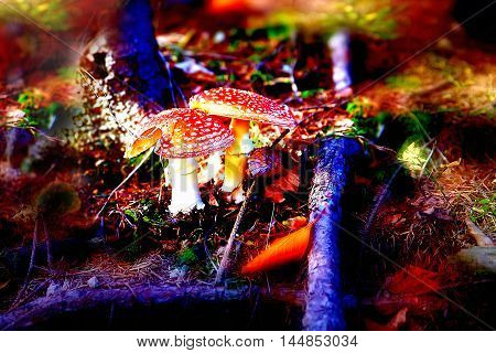 Two spotted toadstools in the autumn woods. Color effect