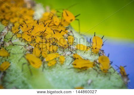 Macro closeup tiny yellow aphids on leaf stem