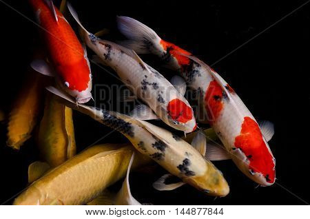 Koi Fish Feeding And Relaxing Water Garden.