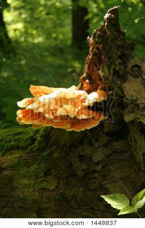 Orange Mushroom On The Stub