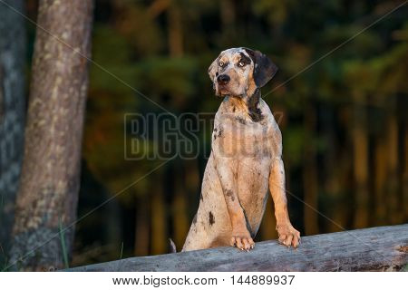 adorable catahoula puppy posing outdoors in summer