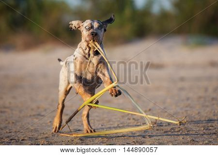 adorable catahoula puppy playing on a beach