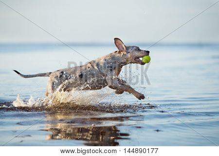 catahoula puppy playing in the sea with a tennis ball