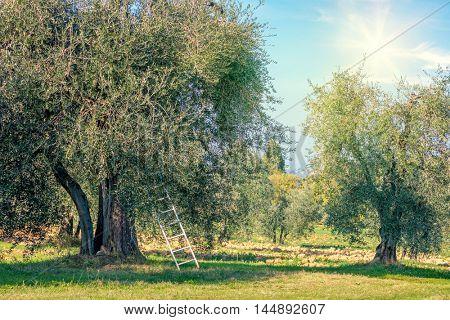 Harvest time  landscape of Olive trees plantation.  Mediterranean region. Vegetable and olive oil produce industry. Seasonal nature